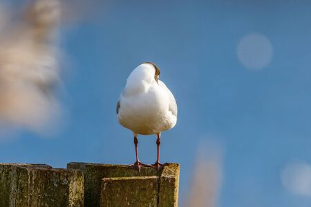Black Headed Gull resting on a fence