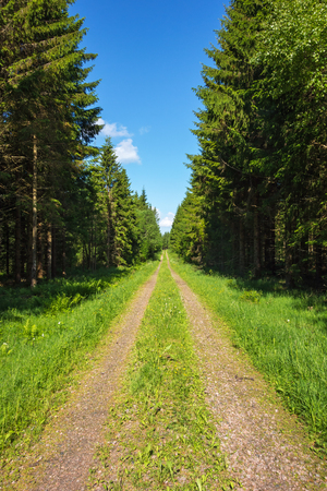 Forest road through spruce forest