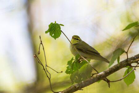 sitt: Green Warbler sitt on a tree branch Stock Photo