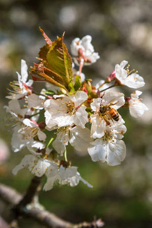 Bee on a cherry flower in spring Stock Photo
