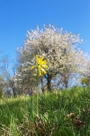 Cowslip with flowering cherry trees in the meadow Stock Photo
