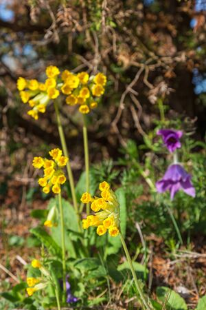 Cowslip bloom in spring at a  meadow