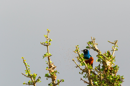 Superb starling sitting in a tree with mosquitoes swarming around Stock Photo