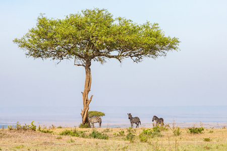 below: Zebras standing in the shade under a tree