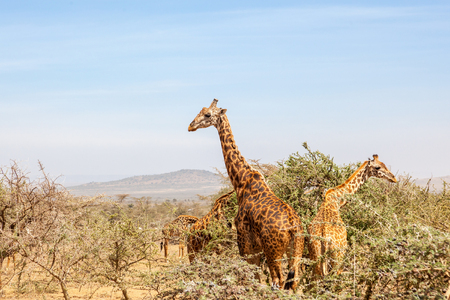 Flock of Giraffes in the savanna landscape with trees