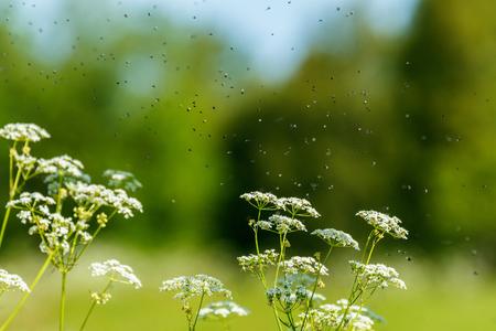 群がるハエとパセリの花 写真素材