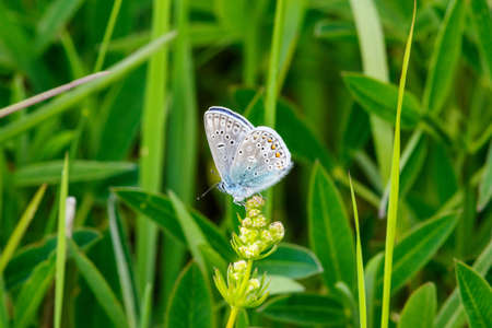 Common blue butterfly sitting on a flower Stock Photo