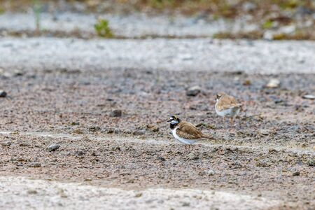 Two Little ringed plover on the ground