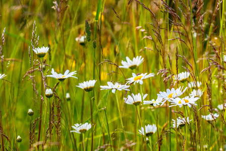 Flowering meadow with daisy flowers Stock Photo