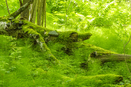 Lush green forest with ferns and Equisetum plants