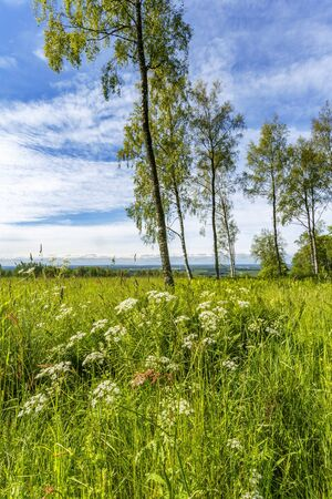 Flowers on a meadow with birch trees Stock Photo