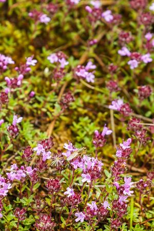 Wild Breckland thyme flowers in sunmmer