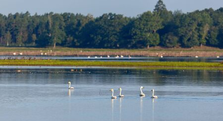 Whooper swans swimming in the lake in summer