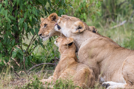 Lioness licking one of her cubs in the savannah