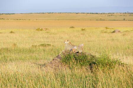 cheetah cub: Cheetah female with cubs lying and watching the savannah Stock Photo