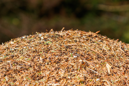 Anthill with ants in the forest