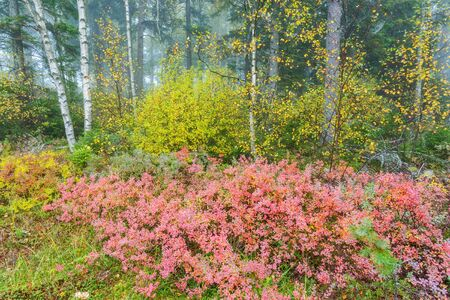 Red blueberry bushes in an autumn colored forest Stock Photo