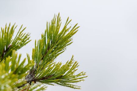 Pine tree branch with morning fur in the needle Stock Photo