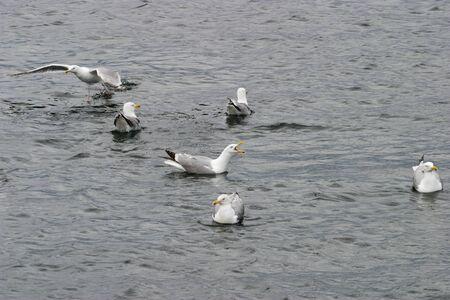 Common gulls on the sea Stock Photo