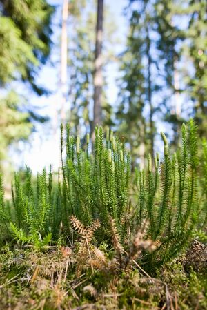 mosses: Clubmoss growing in the woods Stock Photo