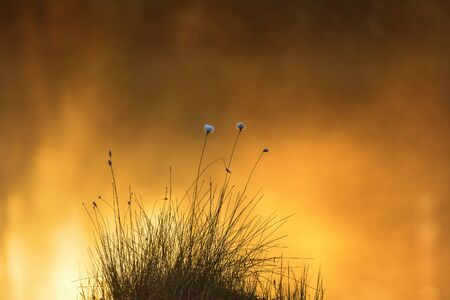 Cottongrass in sunrise at the lake Stock Photo