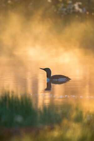 Red-throated loon in the dawn light with fog