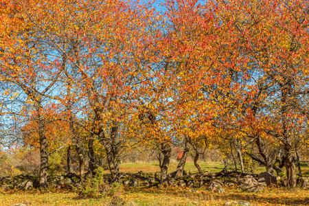 Autumn colored trees in a pasture Stock Photo