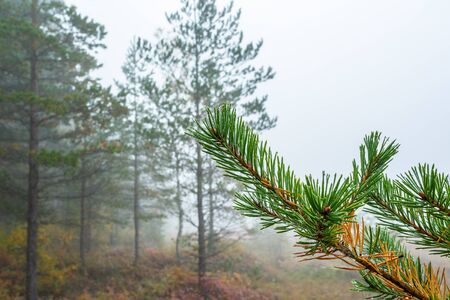 Pine branch in the misty forest