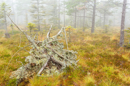 Upprooted tree on a mire in fog