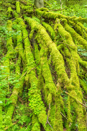 Moss covered branches on a fallen tree in the forest Stock Photo