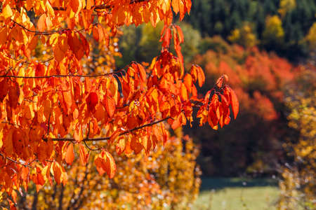 Red autumn leaves on tree branches Stock Photo