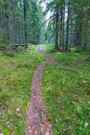 Walking trail through the spruce forest Stock Photo