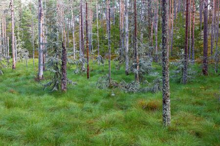 Swamp with old spruce trees in the forest Stock Photo