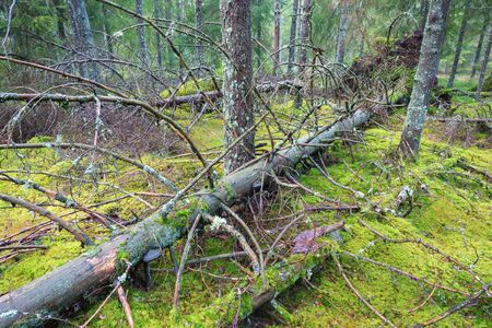 Old fallen spruce trees in forest