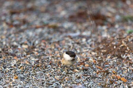 Marsh tit sitting on ground with sunflower seeds at a bird feeder