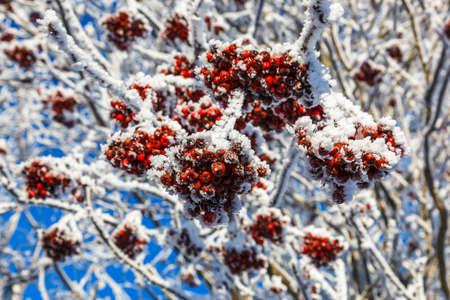 rowanberry: Frozen rowan berries on a tree