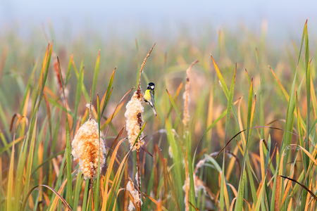 Great tit sitting on a bulrush in the wetland