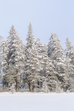 Coniferous forest with snow and frost in winter Stock Photo