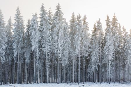 서리가 내린 나무가있는 가문비 나무 숲