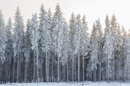 Spruce forest with frosty trees