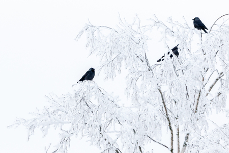Flock of Jackdaws in trees with frost in winter Stock Photo