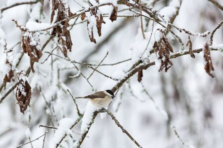 Winter forest with a marsh tit on a snowy branch