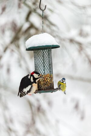pájaro carpintero: Great Spotted Woodpecker and blue tit at a bird feeder