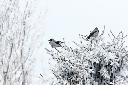 Jackdaws sitting in a spruce tree with frost in the winter