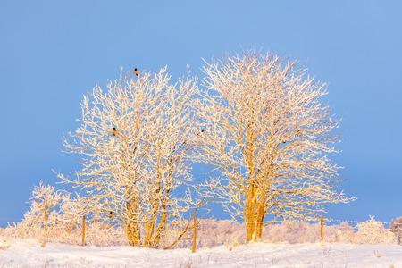 Crows sitting in the trees with hoarfrost