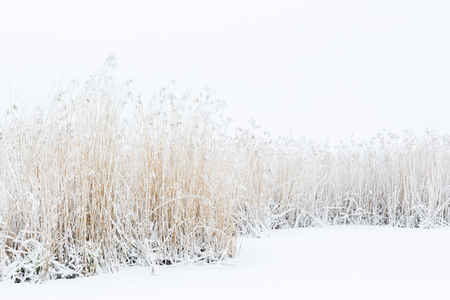 Frozen reeds with snow on the ice