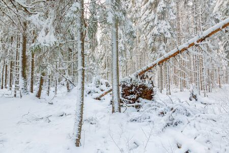 Winter forest with snow and an uprooted tree