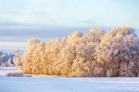 Birch tree woodland with hoarfrost in a wintry cold rural landscape Stock Photo