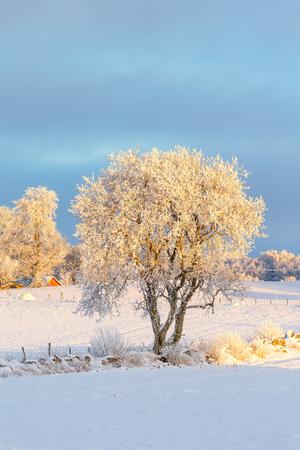 Single tree in a winter landscape with fields