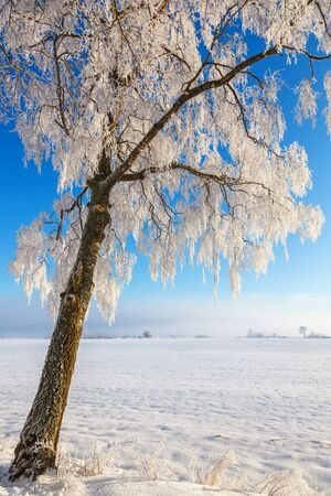 Birch trees with frost on the branches in a rural landscape Stock Photo